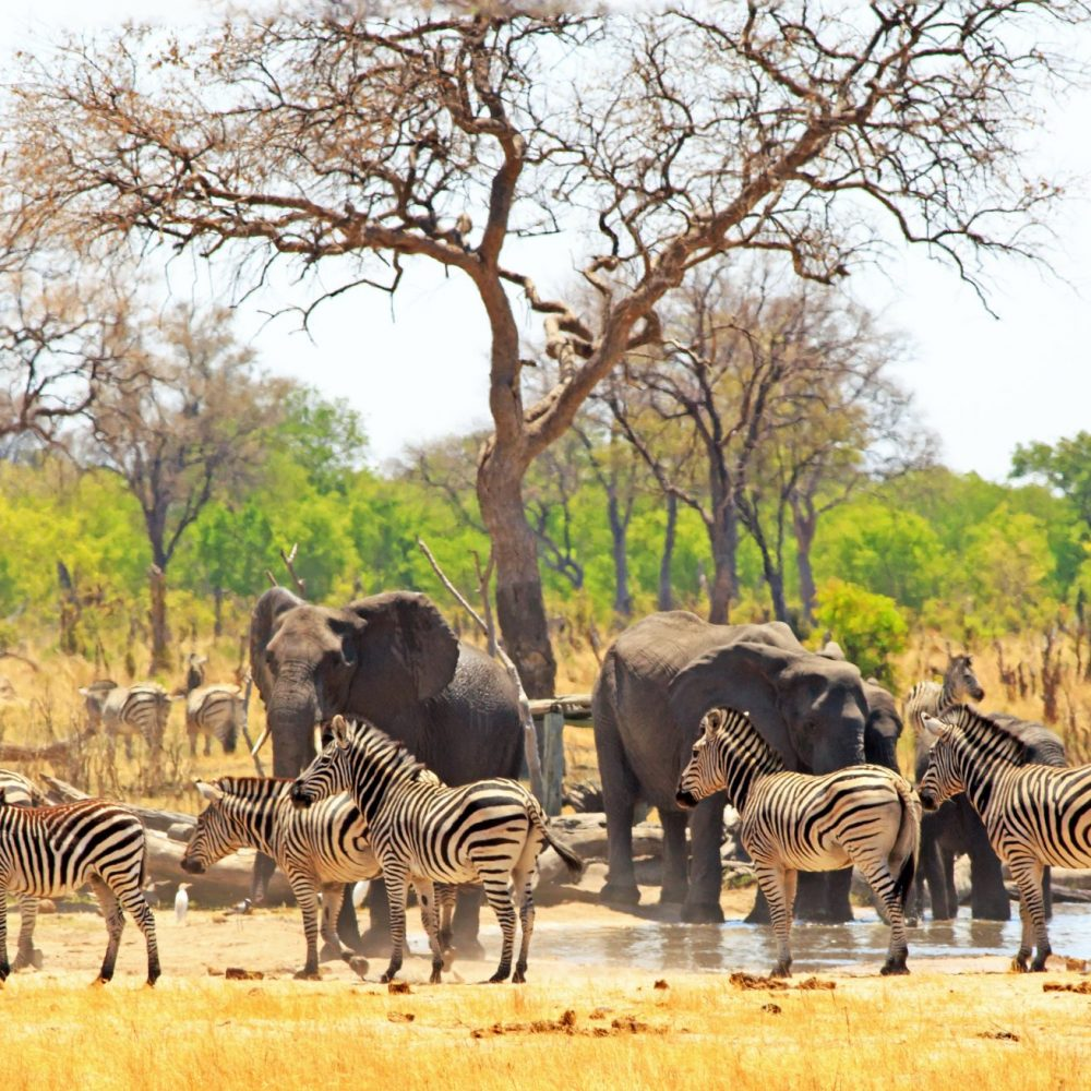 Panoramic view of a waterhole on the Makololo plains with elephants and zebras congregating in the heat - heat haze is visible. Hwange National Park, Zimbabwe