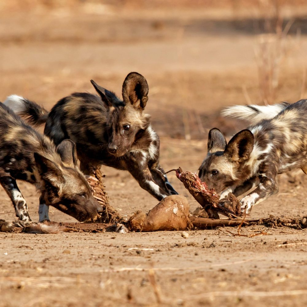 African wild dog pups eating from a prey in Mana Pools National Park in Zimbabwe