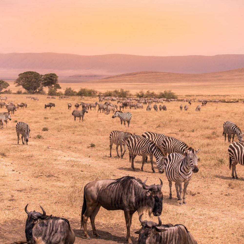 Landscape of Ngorongoro crater - Herd of wild animals grazing on grassland - herd of zebra and wildebeests (also known as gnus) at sunset  - Ngorongoro Conservation Area, Tanzania, Africa