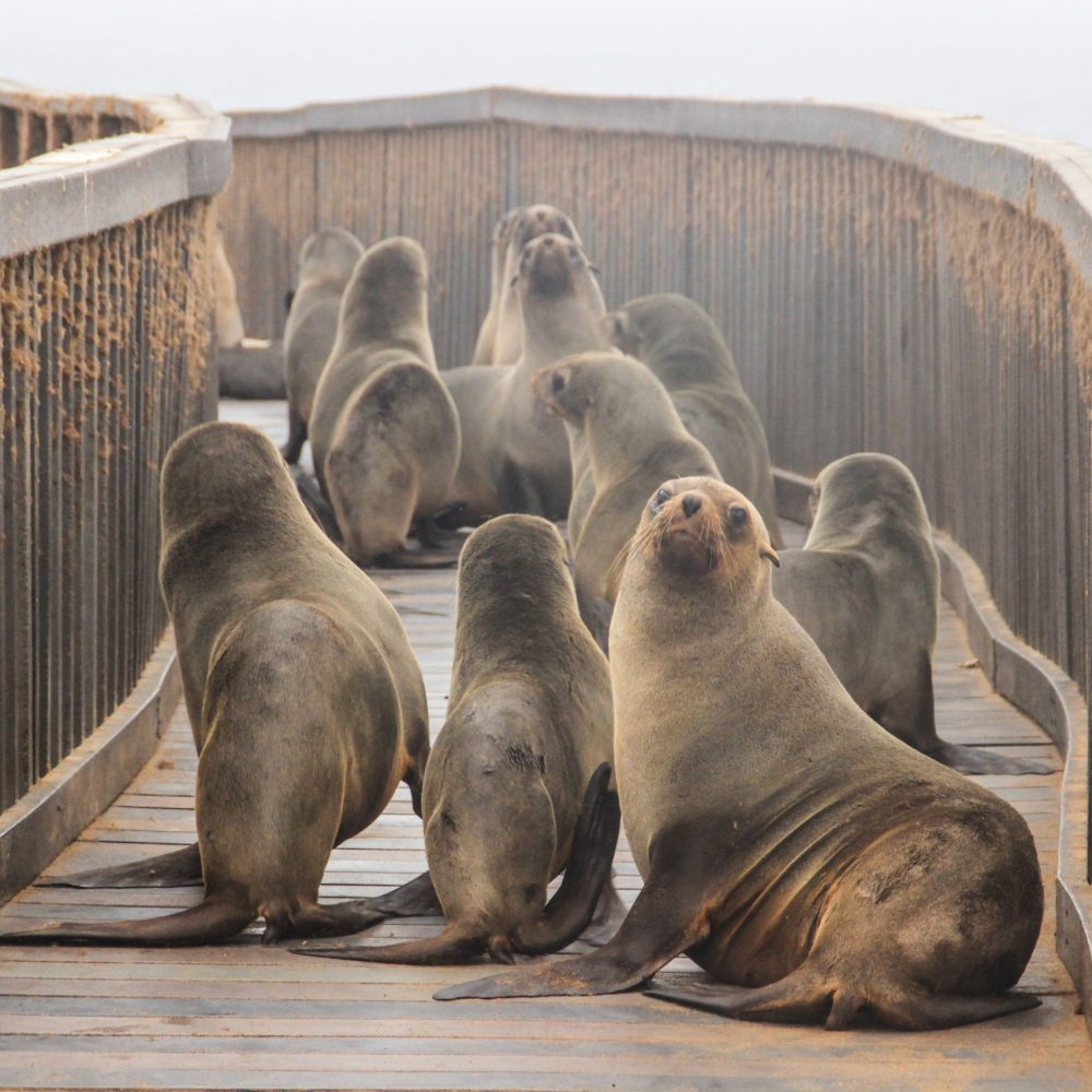 Cute seals frolic on the shores of the Atlantic Ocean in Namibia. Cape Cross